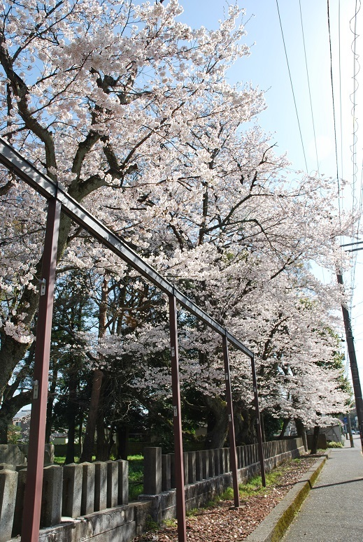 境内の桜_f0067122_10071025.jpg
