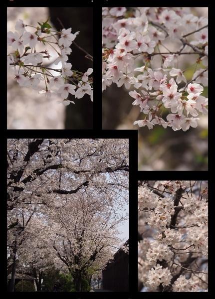 今年の桜事情_c0026824_17484520.jpg