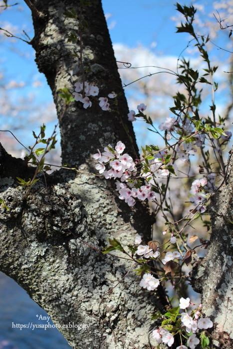 桜とたこ焼き_e0347431_22241387.jpg