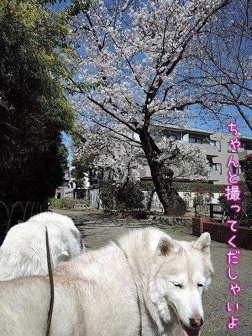 リアルお花見散歩♪_c0062832_15501015.jpg