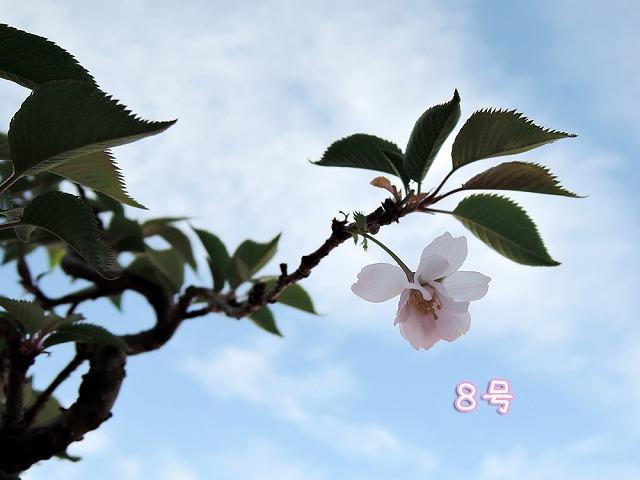 リアルお花見散歩♪_c0062832_15501058.jpg