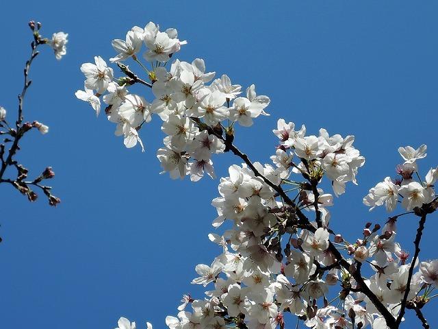 リアルお花見散歩♪_c0062832_15501148.jpg