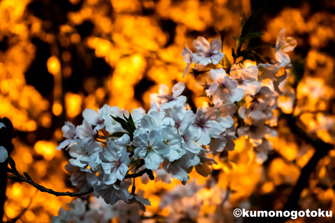 cherry blossoms at night_e0206737_14480758.jpg