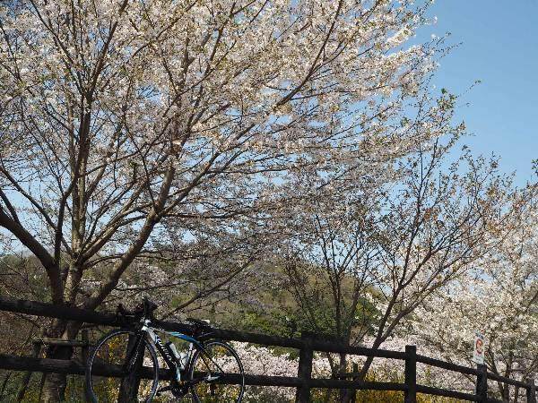 美馬市:三ツ木簡易郵便局は散り初め、貢公園は満開&蕾あり_b0149340_19192972.jpg