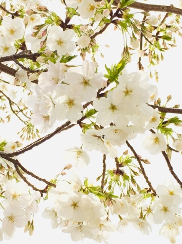 4月ー桜の季節ー_f0206741_21102835.jpeg