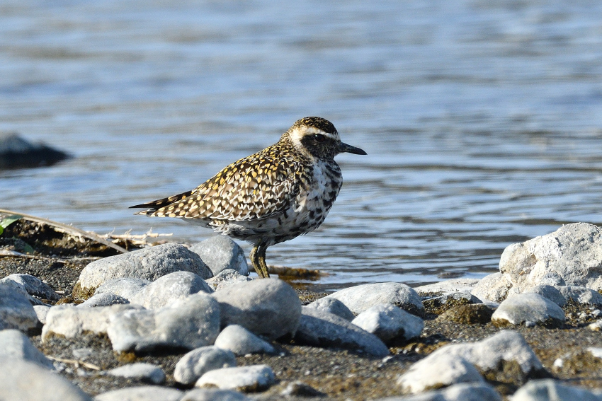ムナグロ(Pacific Golden Plover)/2019.04_b0148352_18561831.jpg