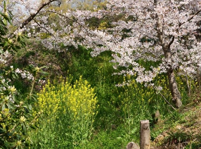 春爛漫の紀伊風土記の丘 1  2019-04-08 00:00   _b0093754_22282625.jpg