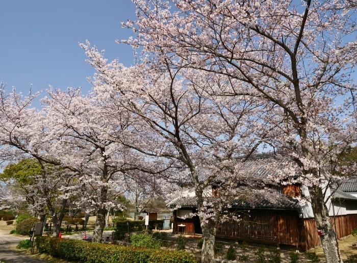 春爛漫の紀伊風土記の丘 1  2019-04-08 00:00   _b0093754_22300873.jpg