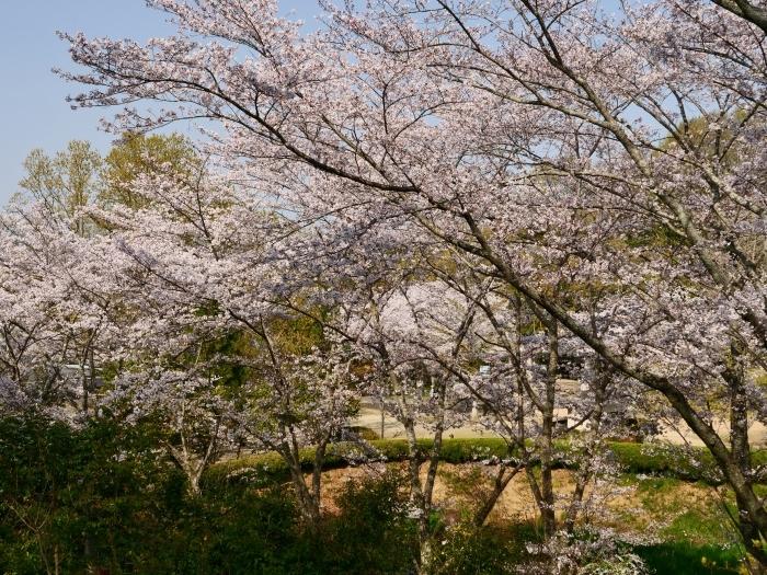 春爛漫の紀伊風土記の丘 1  2019-04-08 00:00   _b0093754_22310733.jpg