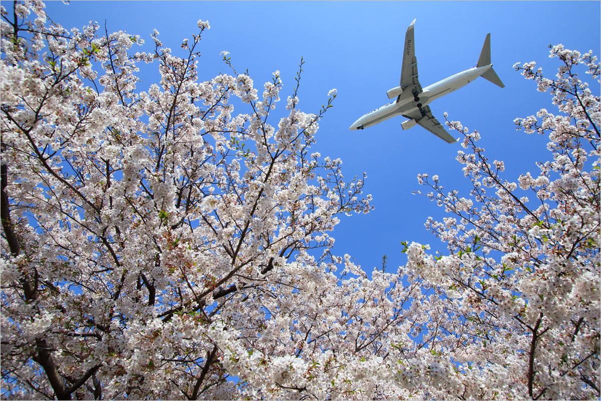 桜 2019 / 2 - 福岡空港_c0308259_19060094.jpg