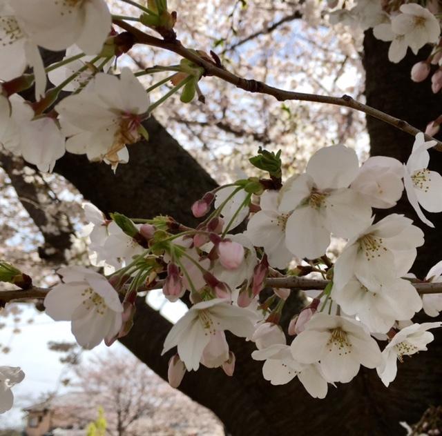 my birthday その1 サージュとお花見ピクニック♪_a0165160_16291819.jpg