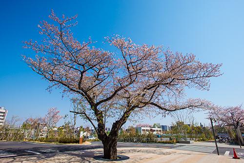 桜_a0155464_20534866.jpg
