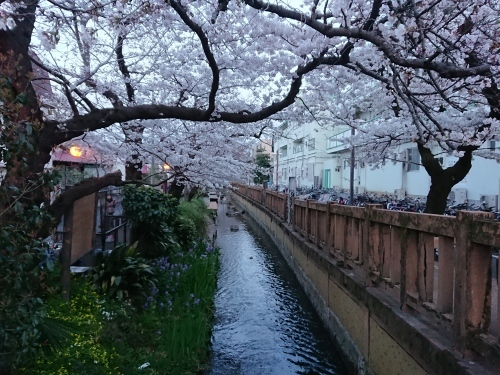 ニケ領用水に桜を見に行ってきた!_c0100865_11041393.jpg