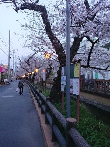 ニケ領用水に桜を見に行ってきた!_c0100865_11304286.jpg