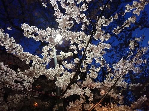 ニケ領用水に桜を見に行ってきた!_c0100865_11365128.jpg