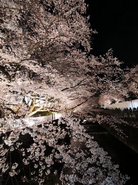 仙川 夜桜_a0351368_21245538.jpg