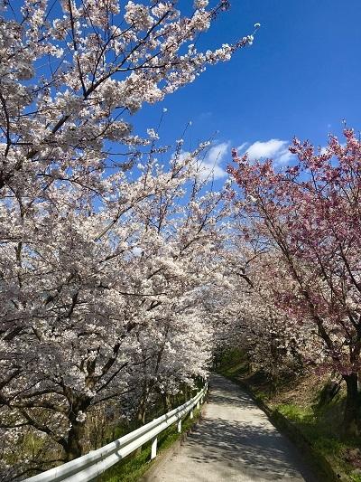 今年の桜は香川より_c0130172_10222627.jpg
