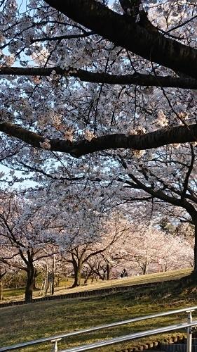 🌸桜🌸_c0341879_20130530.jpg