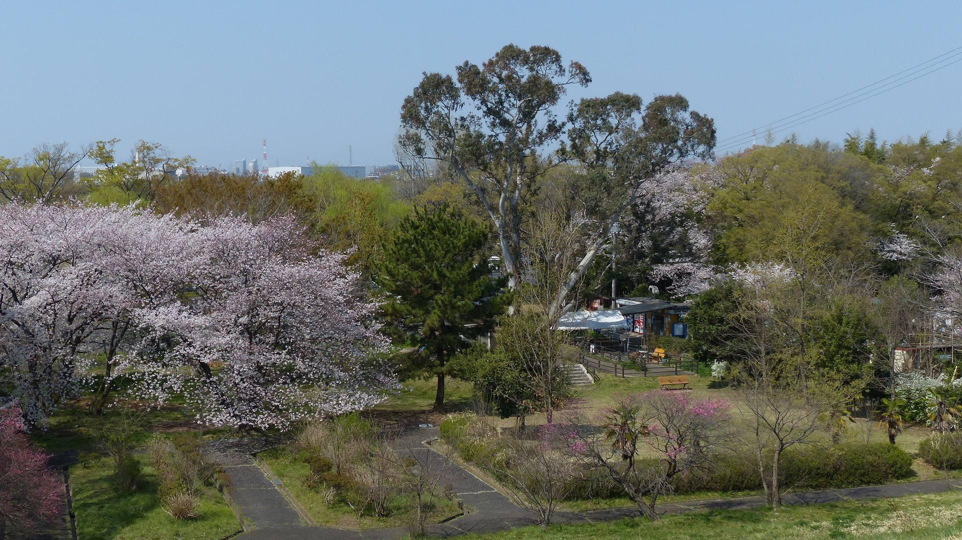 今年の桜はどこか変? 【 2019 4/6(土) 】_a0185081_14594539.jpg