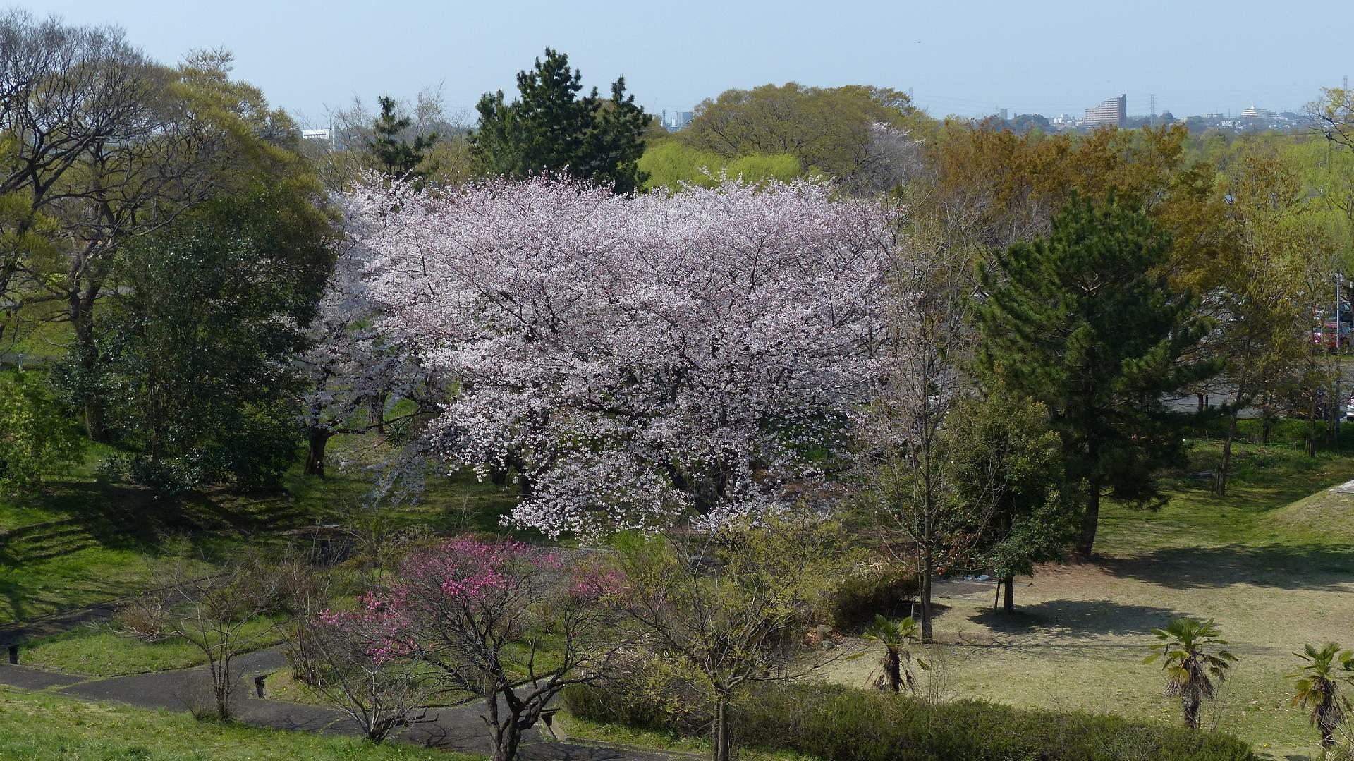 今年の桜はどこか変? 【 2019 4/6(土) 】_a0185081_15000075.jpg