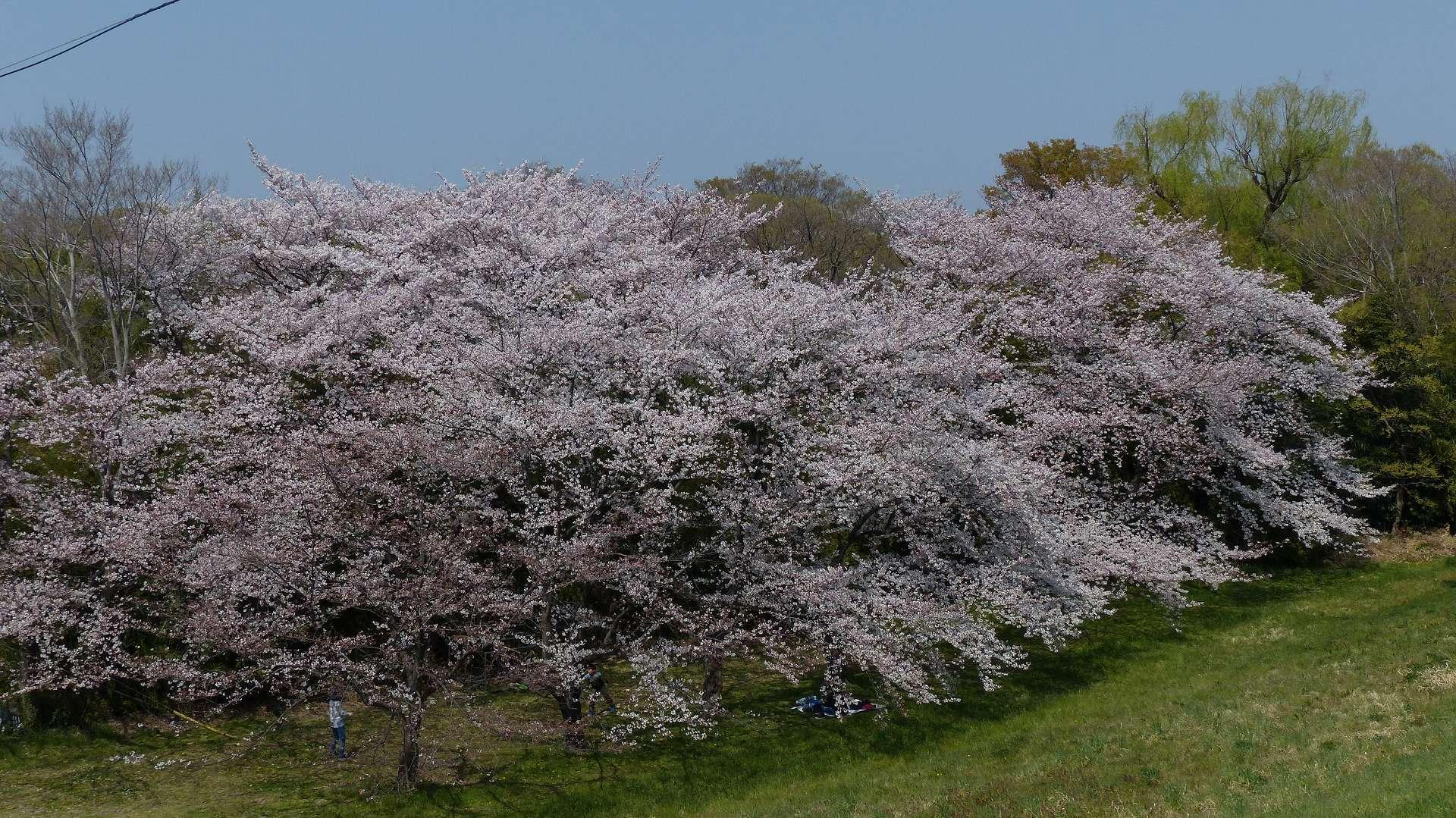 今年の桜はどこか変? 【 2019 4/6(土) 】_a0185081_15001609.jpg