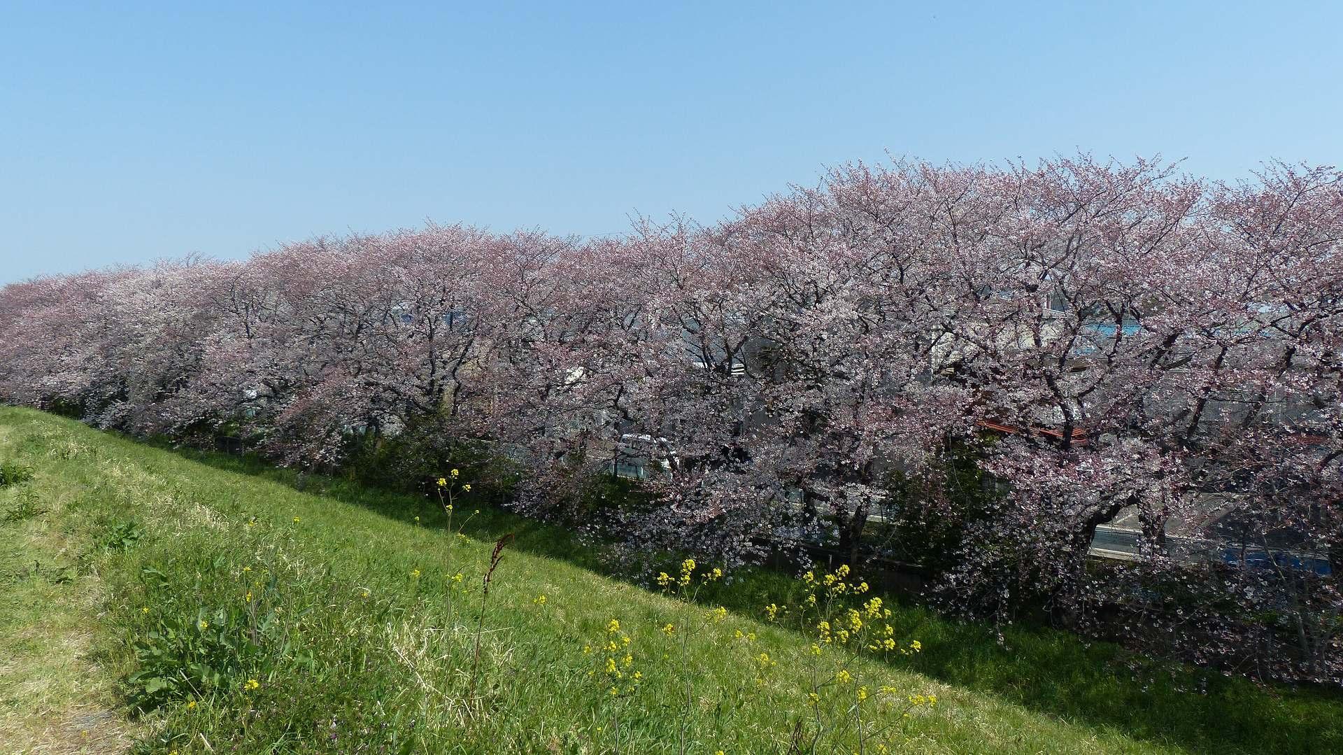 今年の桜はどこか変? 【 2019 4/6(土) 】_a0185081_15003172.jpg