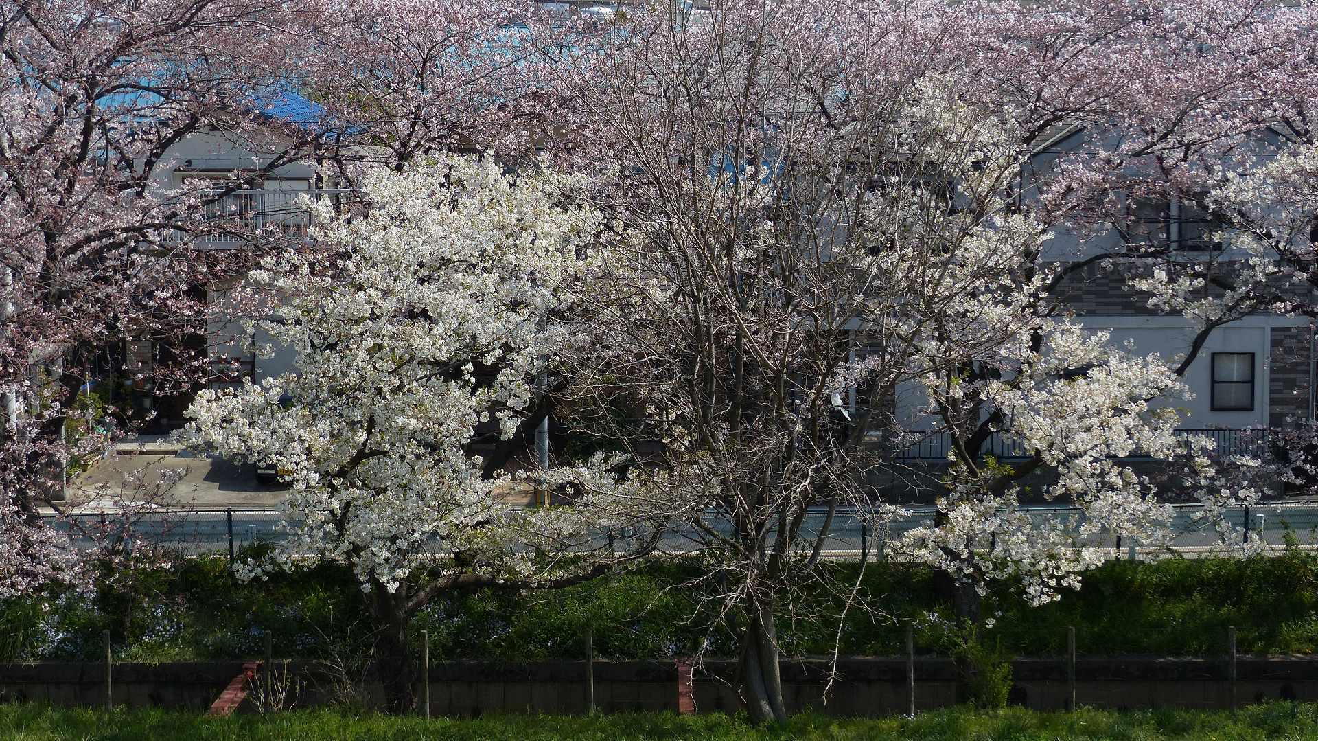 今年の桜はどこか変? 【 2019 4/6(土) 】_a0185081_15004701.jpg