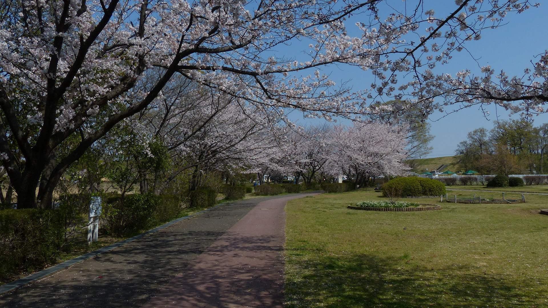 今年の桜はどこか変? 【 2019 4/6(土) 】_a0185081_15243539.jpg