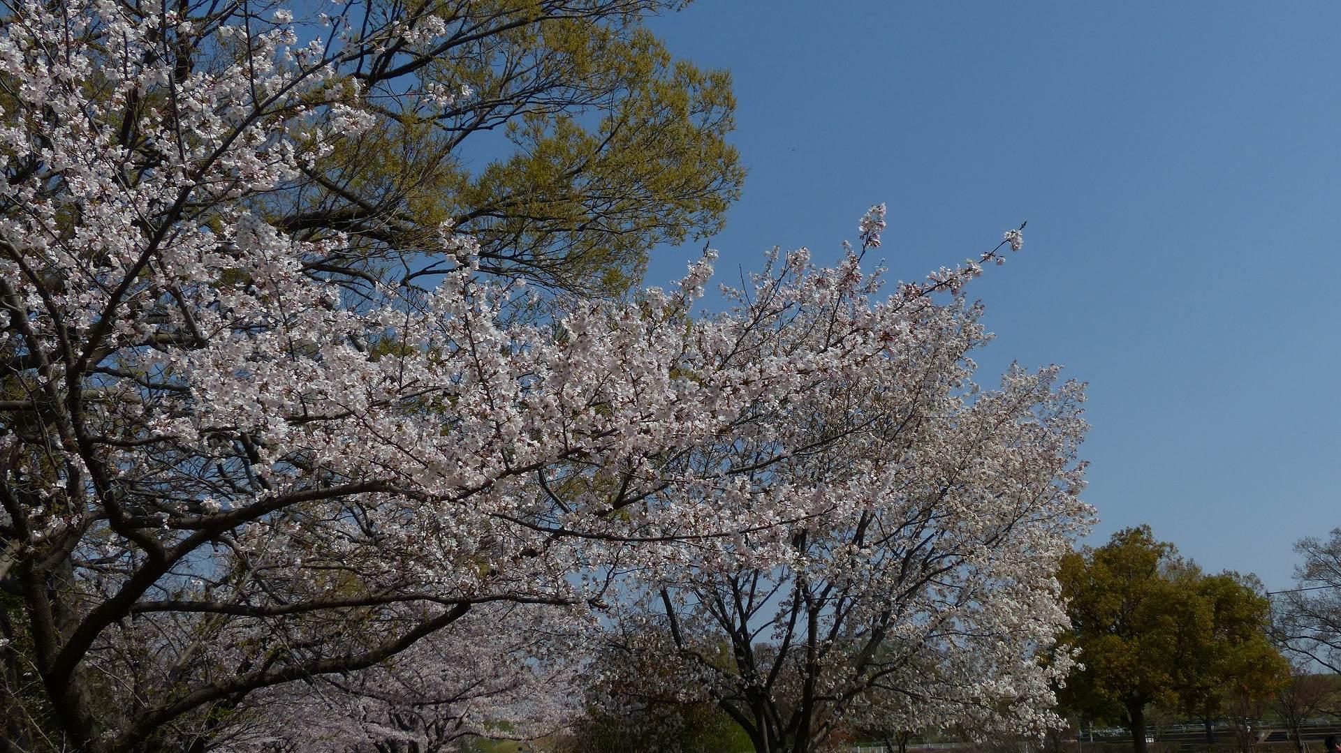 今年の桜はどこか変? 【 2019 4/6(土) 】_a0185081_15250254.jpg