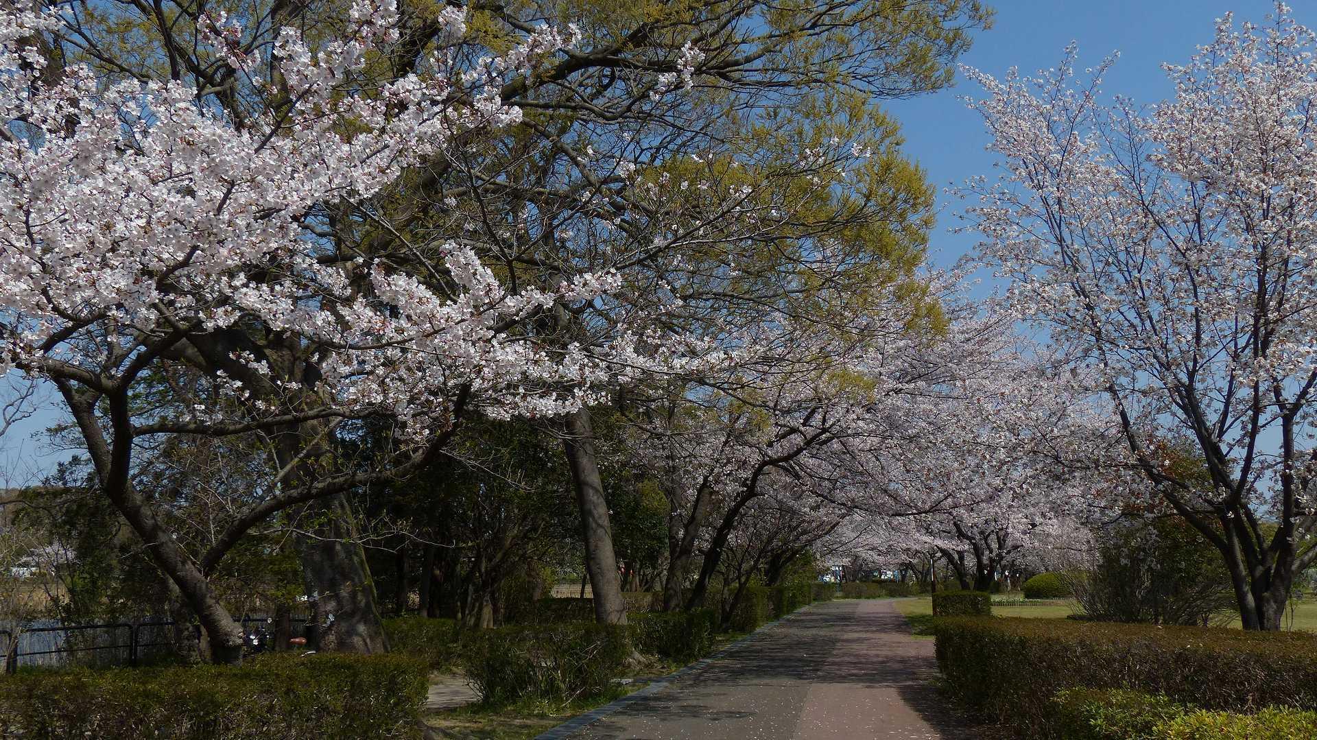 今年の桜はどこか変? 【 2019 4/6(土) 】_a0185081_15251710.jpg