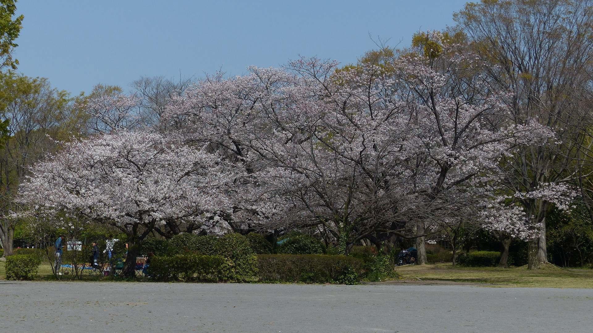 今年の桜はどこか変? 【 2019 4/6(土) 】_a0185081_15402544.jpg