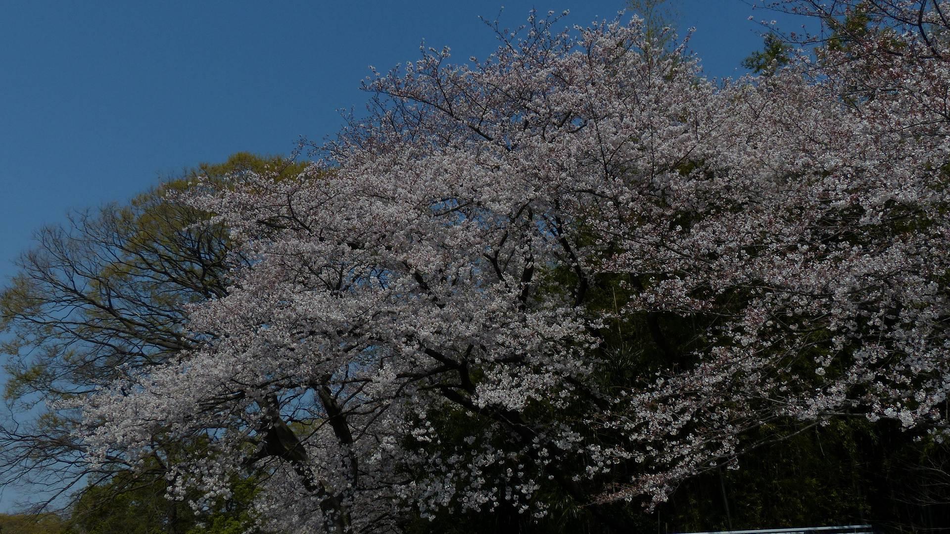 今年の桜はどこか変? 【 2019 4/6(土) 】_a0185081_15404229.jpg