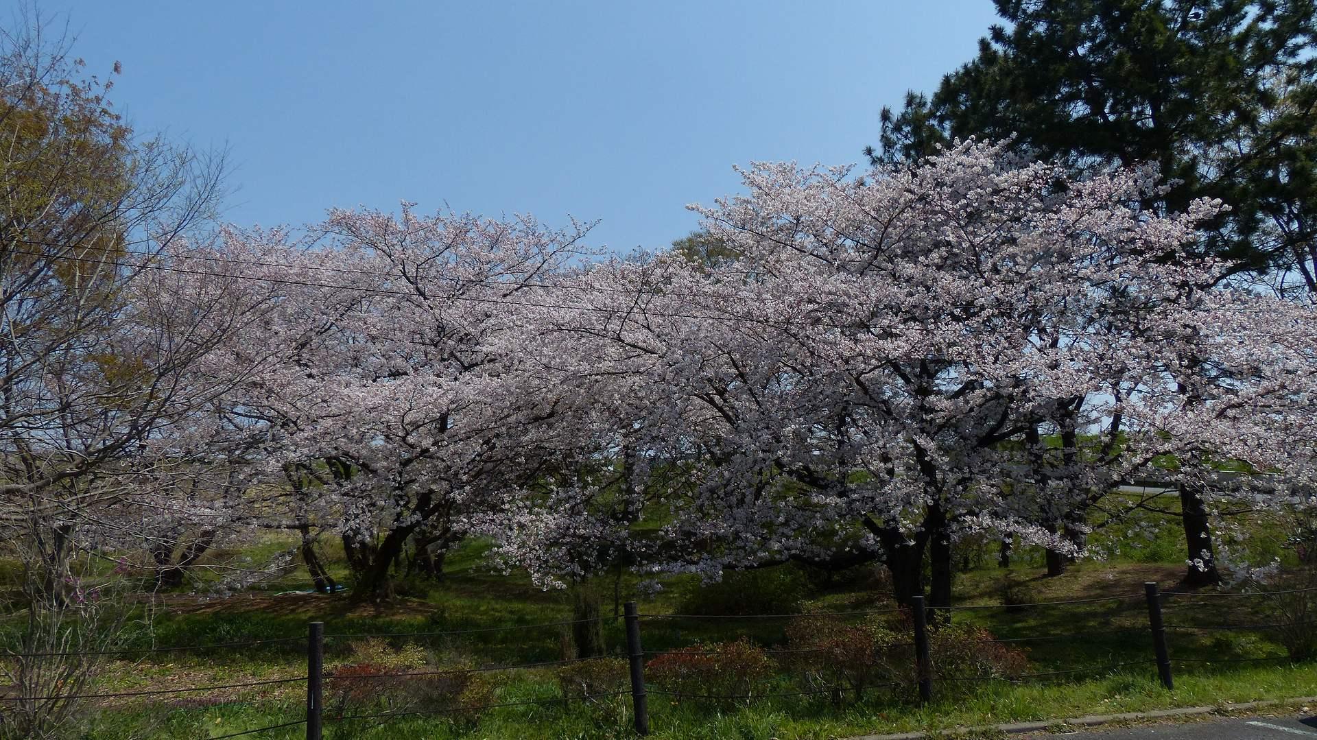 今年の桜はどこか変? 【 2019 4/6(土) 】_a0185081_15405631.jpg