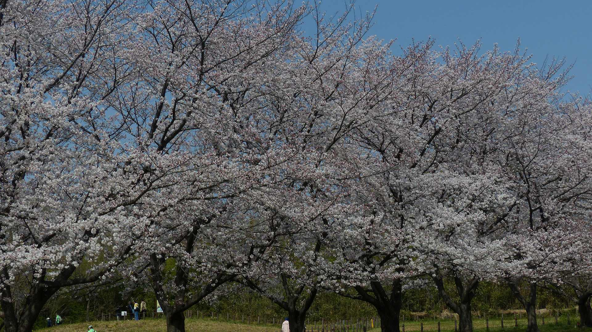 今年の桜はどこか変? 【 2019 4/6(土) 】_a0185081_15411206.jpg