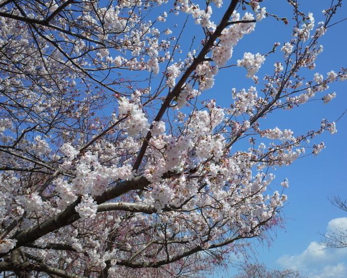 桜咲く伊勢から鳥羽へ~_c0188784_18503418.jpg