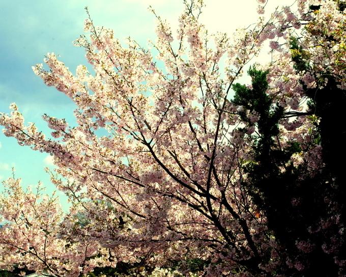 桜咲く伊勢から鳥羽へ~_c0188784_19121018.jpg