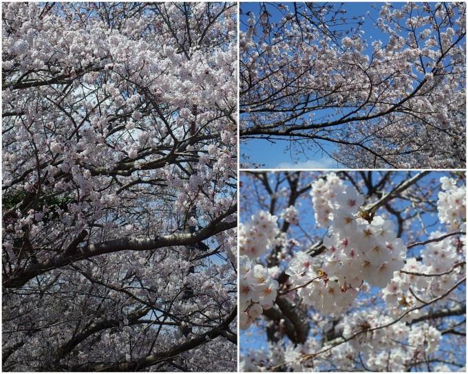 桜咲く伊勢から鳥羽へ~_c0188784_19395895.jpg