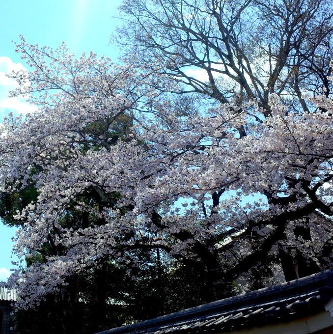 桜咲く伊勢から鳥羽へ~_c0188784_20585599.jpg