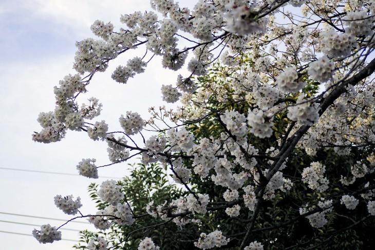 桜も散り始めて・・・_e0305388_13235615.jpg