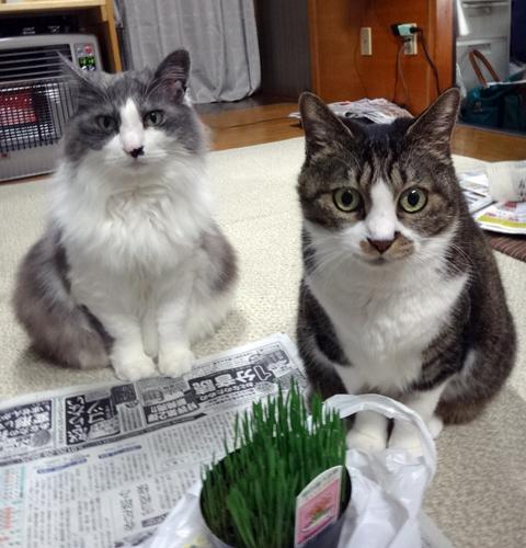 庭のクロッカスと猫部屋のラナンキュラス、そして留守番を終えたニャン_a0136293_17560456.jpg