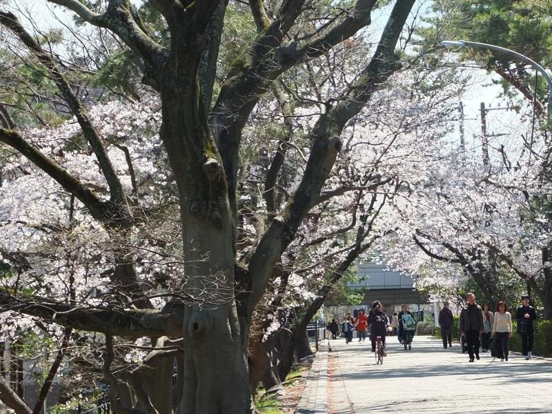 夙川の桜_b0212396_22093148.jpg