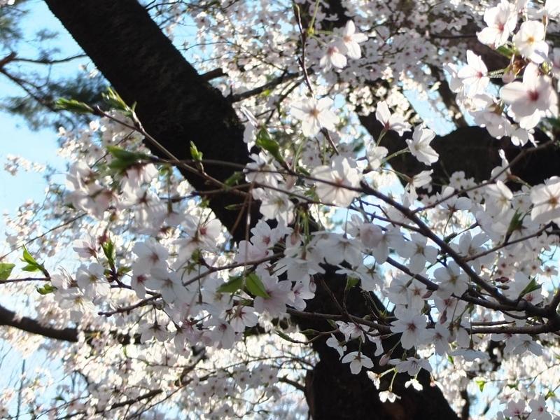 夙川の桜_b0212396_22110195.jpg