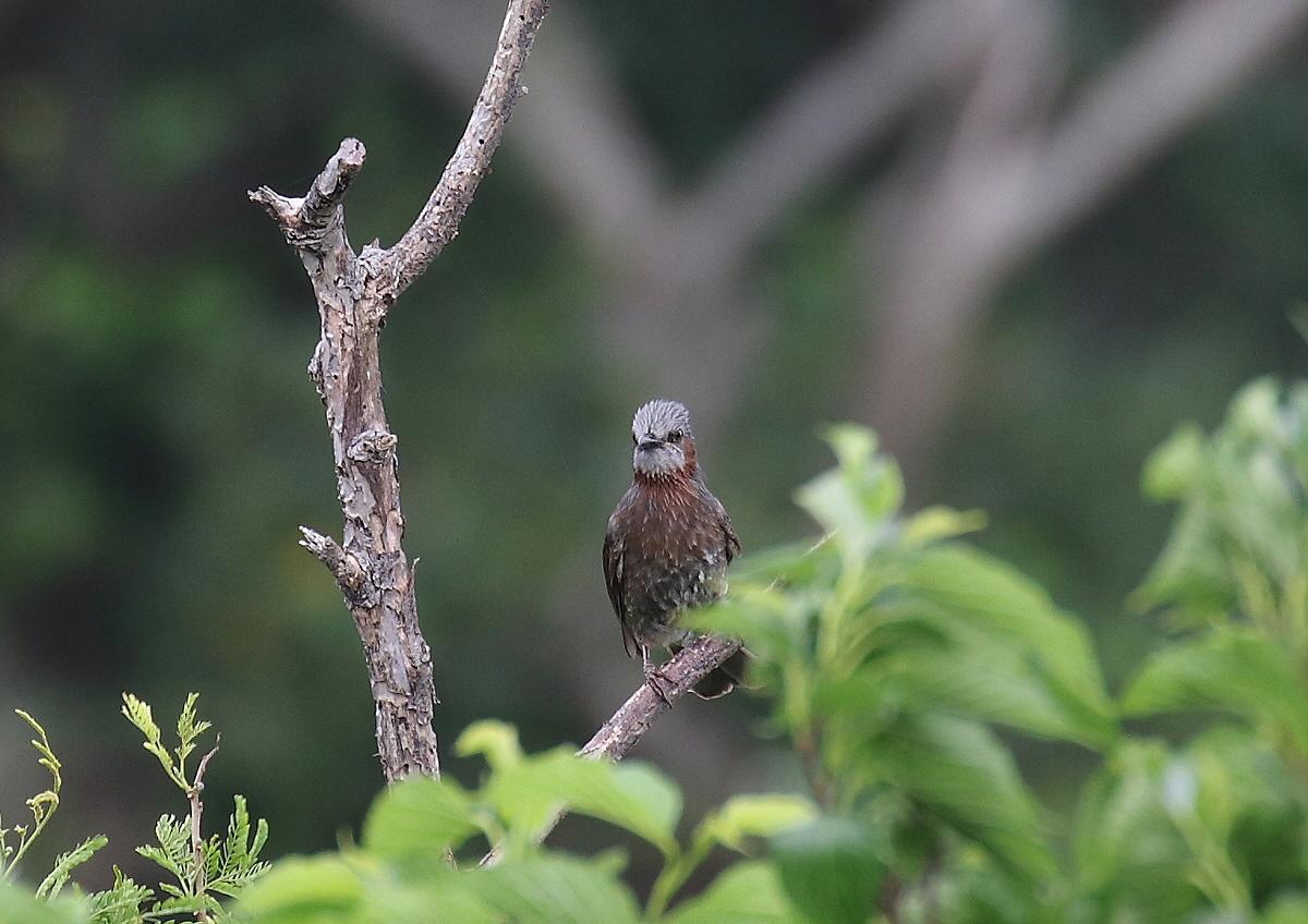 宮古島の野鳥ー6_c0113597_12260171.jpg