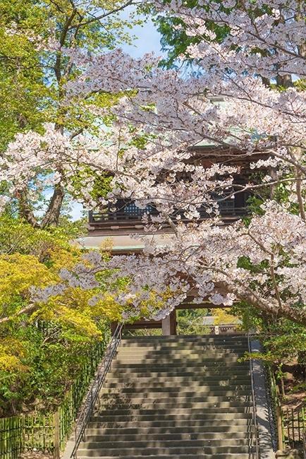 北鎌倉 円覚寺の桜_b0145398_23342126.jpg