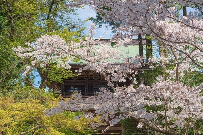 北鎌倉 円覚寺の桜_b0145398_23344310.jpg