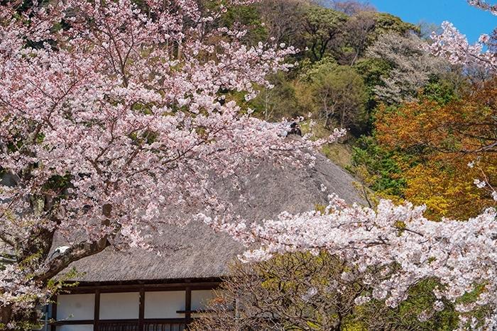 北鎌倉 円覚寺の桜_b0145398_23351566.jpg