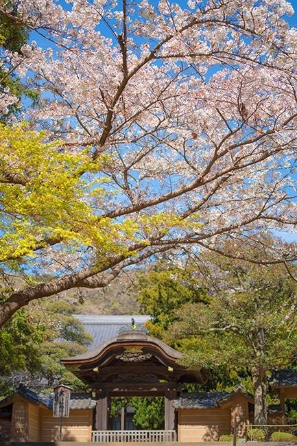 北鎌倉 円覚寺の桜_b0145398_23354949.jpg