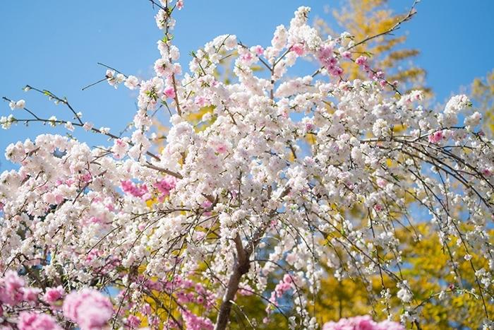 北鎌倉 円覚寺の桜_b0145398_23404210.jpg