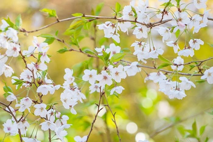 北鎌倉 円覚寺の桜_b0145398_23412127.jpg