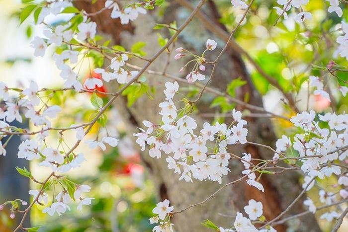 北鎌倉 円覚寺の桜_b0145398_23420467.jpg